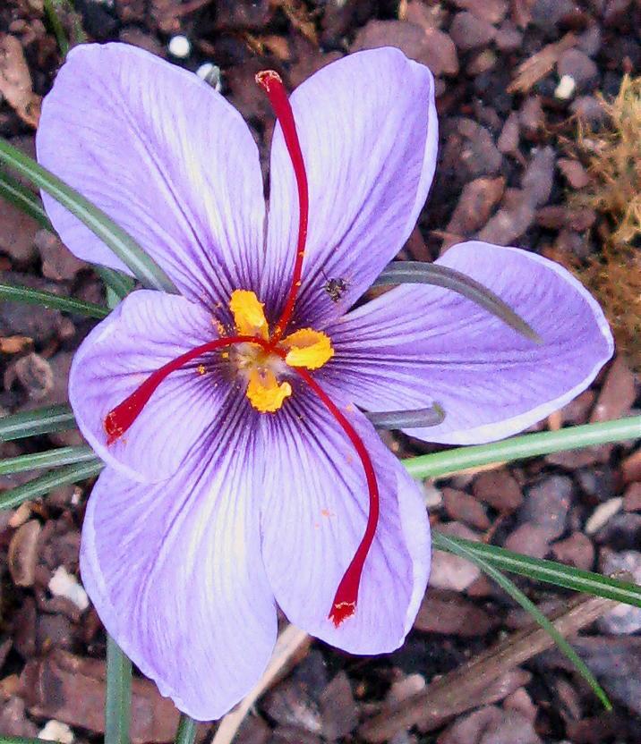 Saffron Crocus, Crocus sativus bulbs