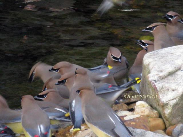 february-23-2009-waxwings-025-2