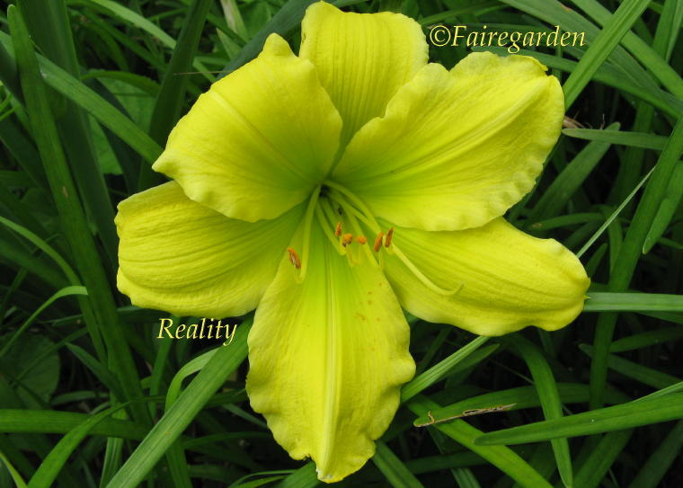 how to grow daylily rebloomers