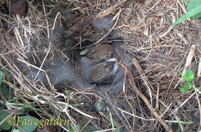 bunnies in nest (2)