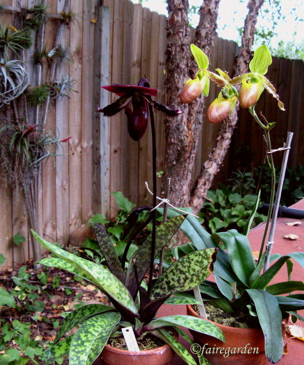 How To Repot A Paphiopedilum Fairegarden