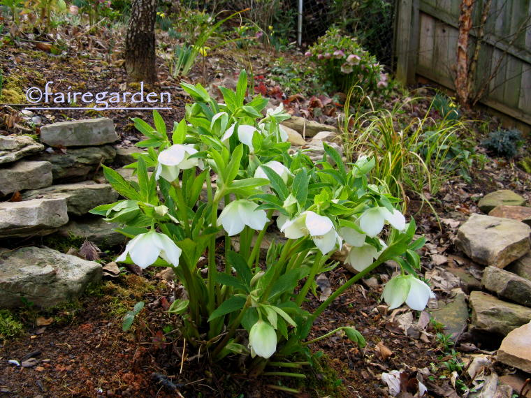 Helleborus orientalis to cut or not to cut fairegarden - Helleborus orientalis ...
