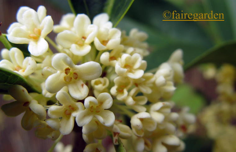 The Sweetest Smell Osmanthus Fragrans Fairegarden