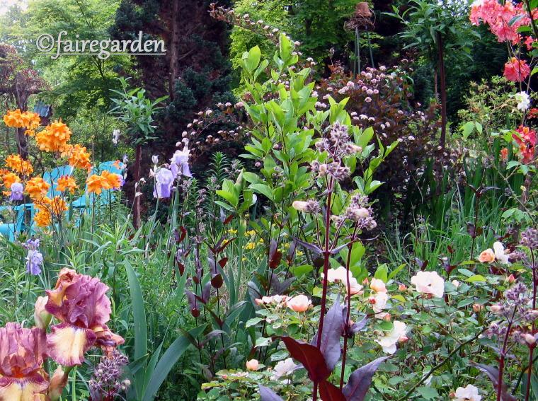 Viburnum Nudum 'Brandywine' and 'Winterthur'   Fairegarden
