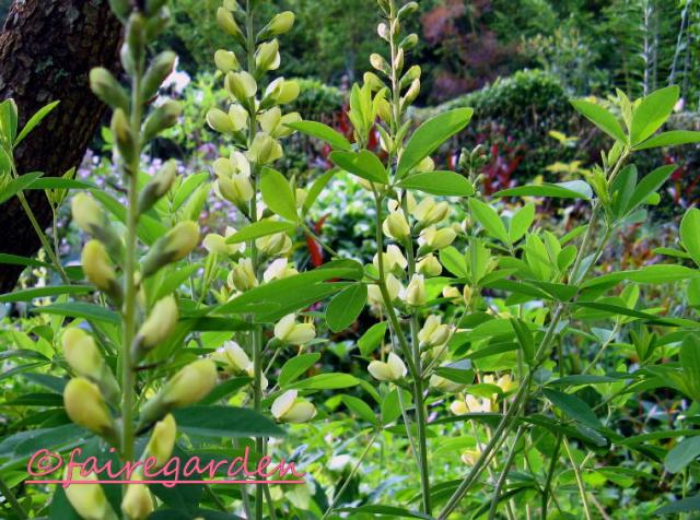 Baptisia Carolina Moonlight
