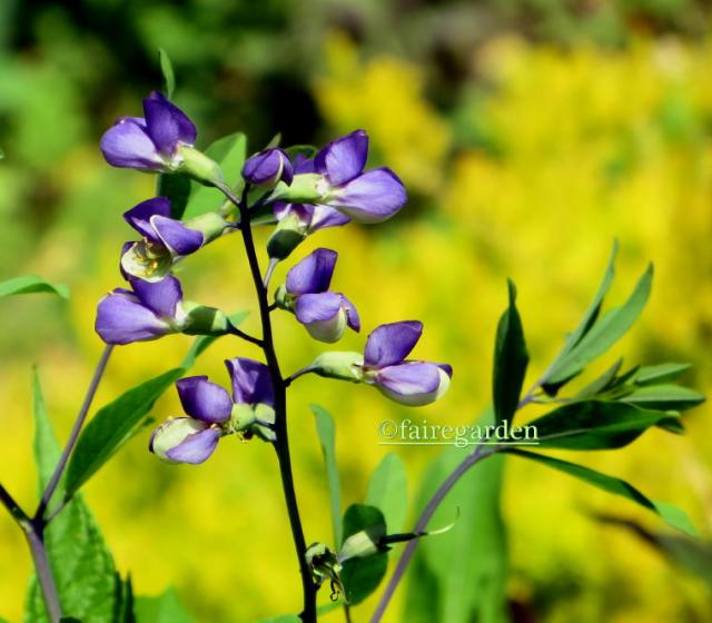 Baptisia Fairegarden seedling cross