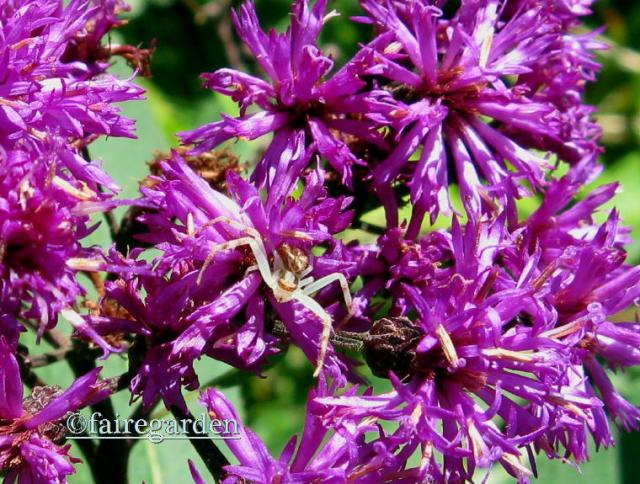August 25, 2013 old 003  ironweed
