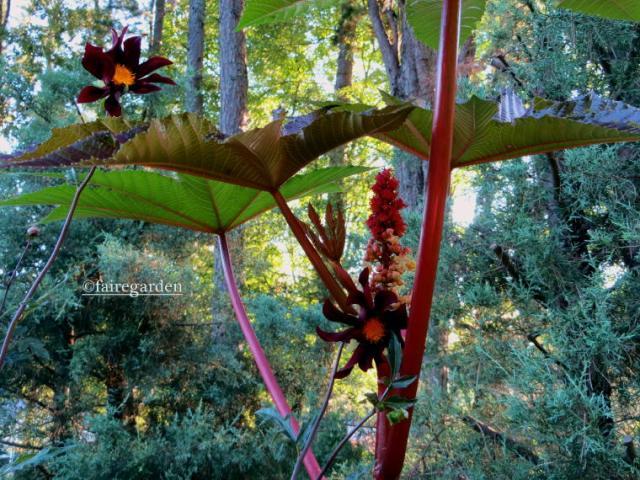 Castor bean and Dahlia atropurpurea