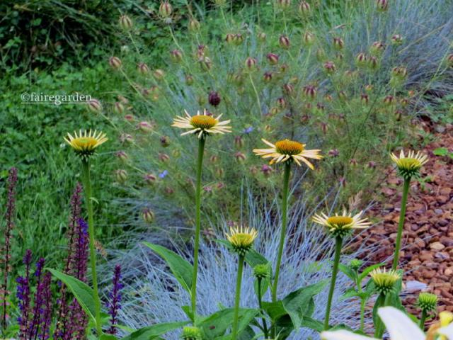 Echinacea Harvest Moon, Festuca glauca and Nigella damascena