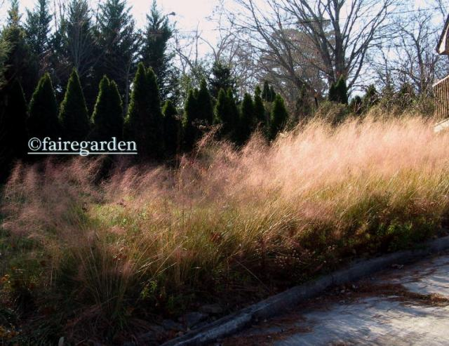 Pink muhly grass, still pretty on December 13, 2012