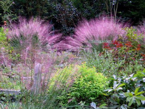 Pink muhly grass on an overcast day