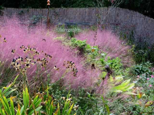 Pink muhly grass, Muhlenbergia capillaris on an overcast day