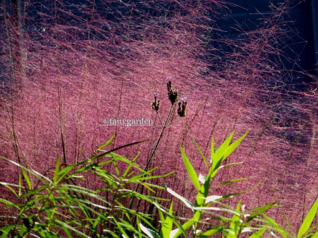Pink muhly grass bedazzles when the sun is shining