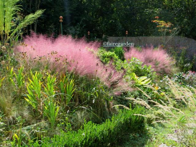 Pink muhly grass, Muhlenbergia capillaris is more pink in bright sunshine