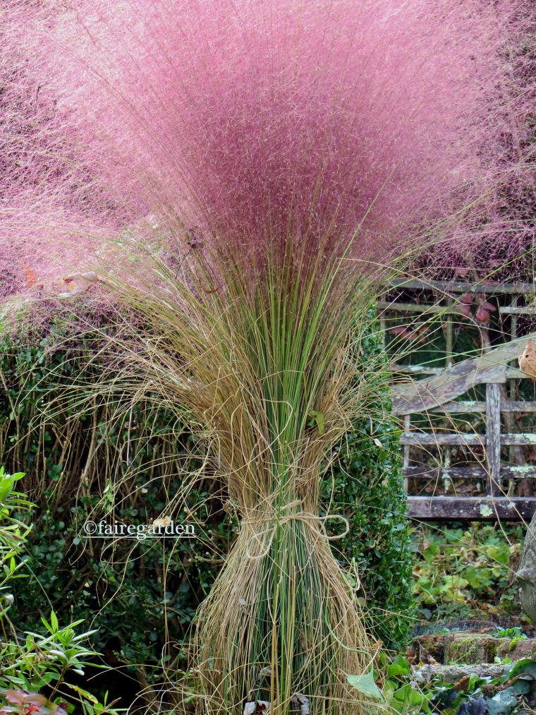 how to grow pink muhly grass