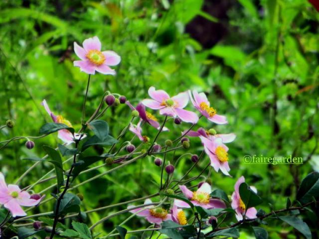 Japanese anemone, Anemone hupehensis