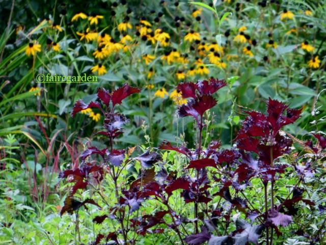 Perilla frutescens 'Atropurpurea' and Rudbeckia fulgida 'Goldsturm'
